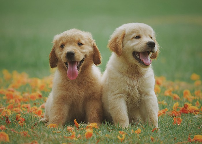 Two puppies in a field